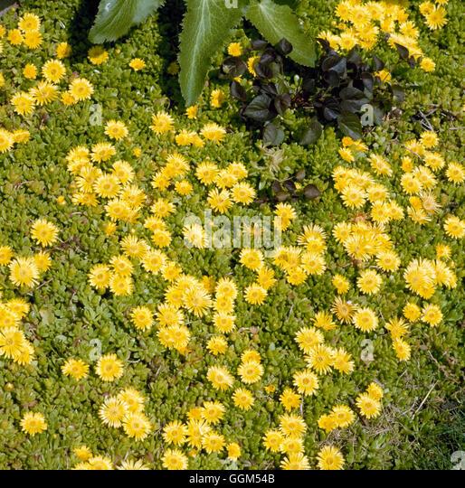 Delosperma nubigerum - (Syn D. `Basutoland')   SUC051228 - Stock Image