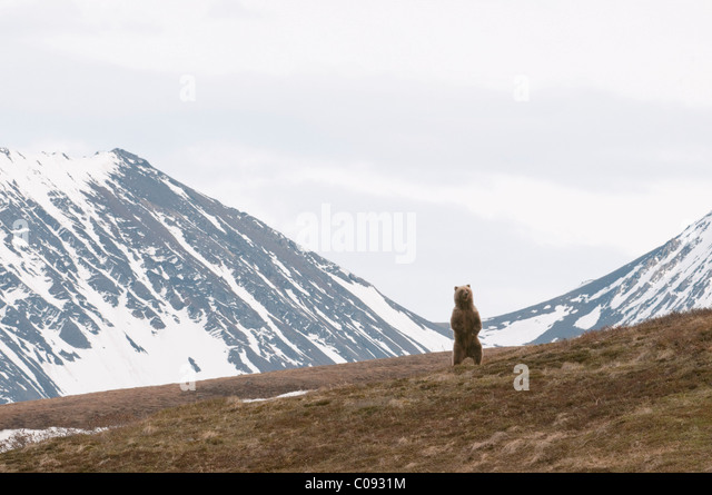 An adult male Grizzly bear surveys terrain while standing on hind feet in Sable Pass, Denali National Park and Preserve, - Stock Image