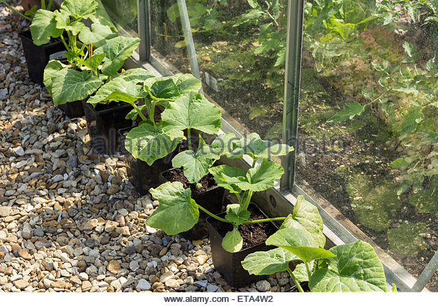 Butternut Squash Plants - Stock Image