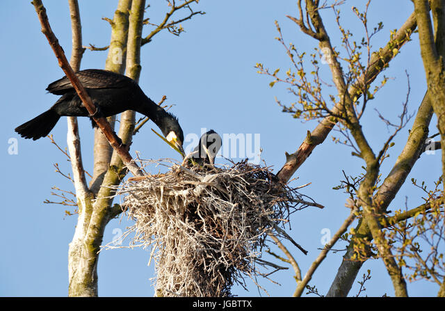 Cormorants (Phalacrocorax carbo), couple building their nest, nature river area Peenetal, Mecklenburg-Western Pomerania, - Stock Image