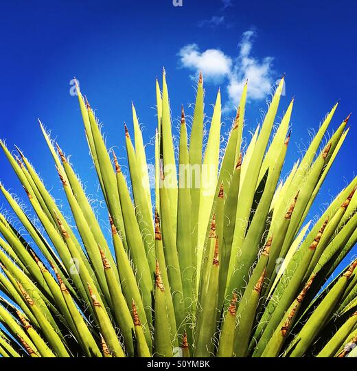 Green cactus with blue sky - Stock Image