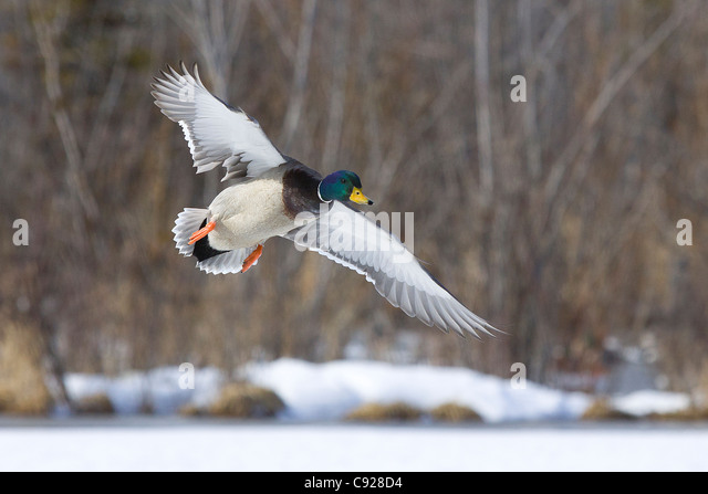 A Mallard drake flys over an Anchorage pond, Southcentral Alaska, Spring - Stock Image