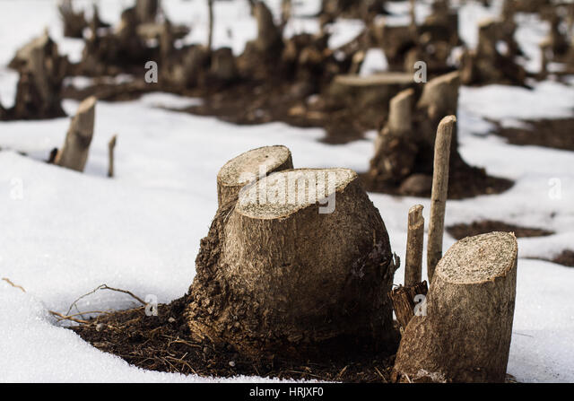 what is a tree trunk covered with 4 letters - woodcutter cut tree stock photos woodcutter cut tree