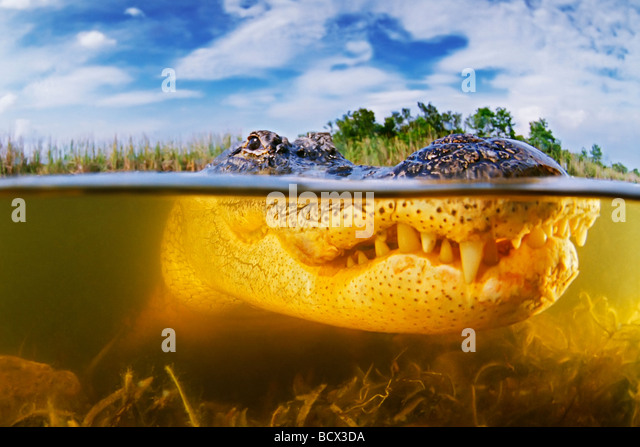 American Alligator Alligator mississipiensis Everglades National Park Florida USA - Stock-Bilder