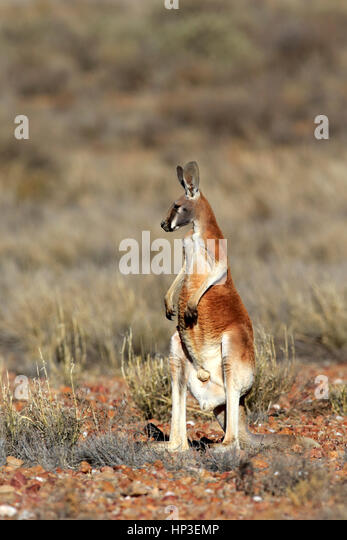 Red Kangaroo, (Macropus rufus), adult male alert, Sturt Nationalpark, New South Wales, Australia, Nature - Stock Image