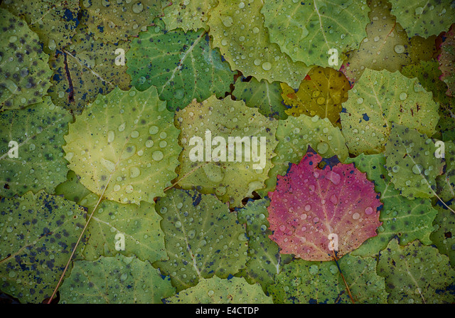 Bigtooth Aspen leaves with morning raindrops create a colorful pattern in Highland Recreation area in Southeast - Stock Image