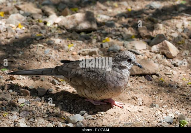Inca Dove (Columbina inca) - Stock Image