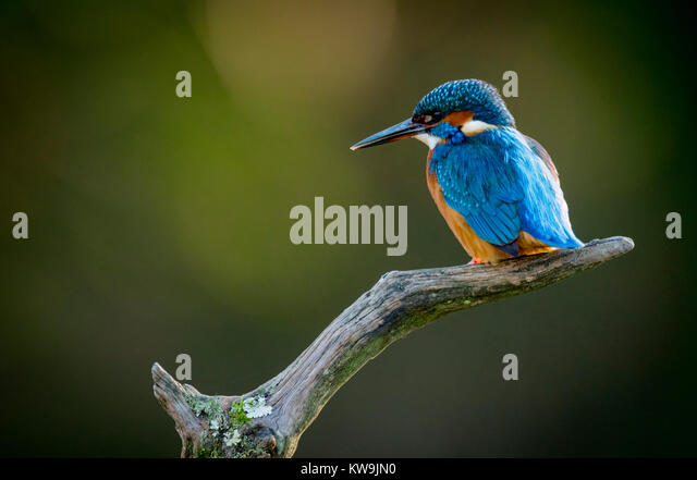 Common Kingfisher - Stock Image