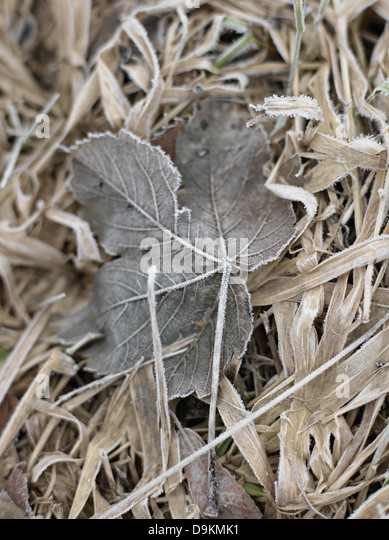 Close up of leaf frozen in winter - Stock Image