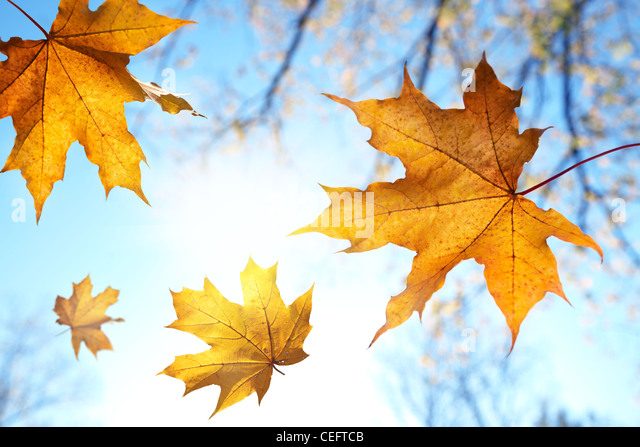 Fall leaves against the blue sky and sun,selective focus - Stock-Bilder