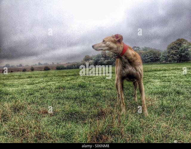 Alert lurcher in field watching intently filtered in the style of a painting - Stock Image