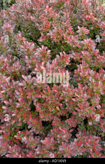 berberis thunbergii atropurpurea stock photos berberis. Black Bedroom Furniture Sets. Home Design Ideas
