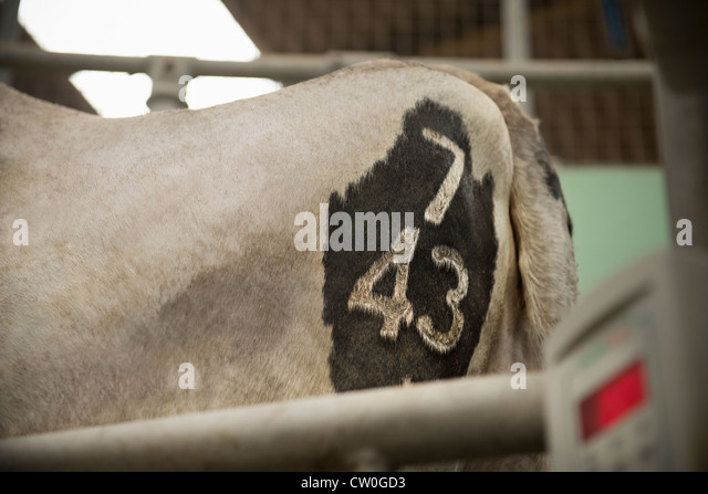 Close up of brand on cows hind - Stock Image