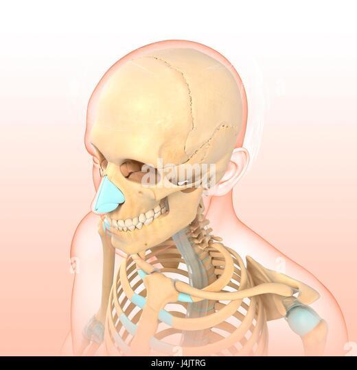 Illustration of part of a human skeleton. - Stock-Bilder