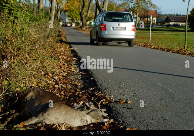Dead deer on the roadside, animal-vehicle accident, run-over deer - Stock Image