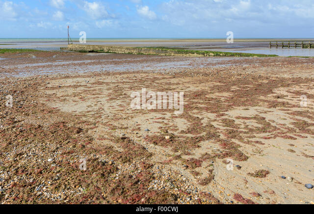 Seaweed covering a beach at low tide. - Stock Image