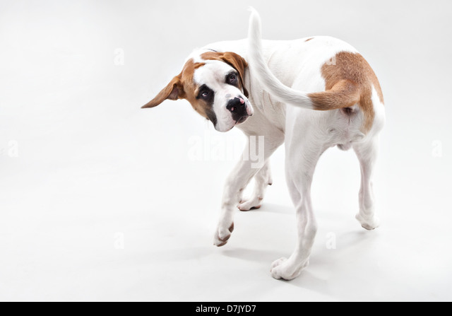 A brown and white St Bernard puppy chasing his tail in studio - Stock Image