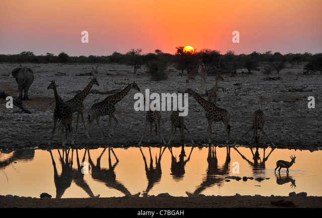 Giraffes at the waterhole at sunset, Okaukuejo, Etosha National Park, Namibia, Africa - Stock-Bilder