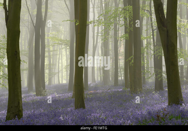 Woodland filled with bluebells on a misty spring morning near Micheldever in Hampshire. - Stock Image