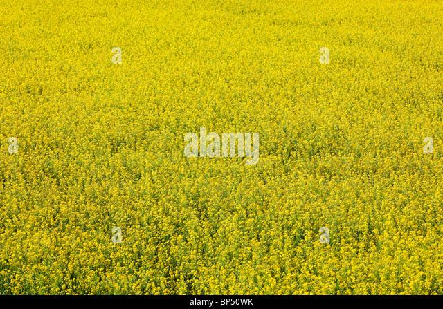 turnip mustard - Stock Image