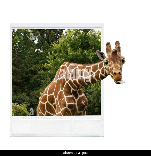 Photograph of giraffe, giraffe's head sticking out of photograph frame - Stock Image