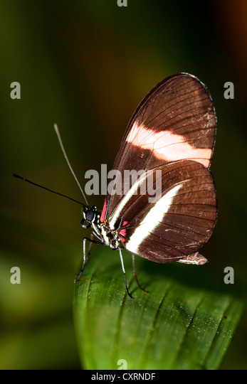 Small Postman Butterfly, Common Postman, or Postman - Stock Image
