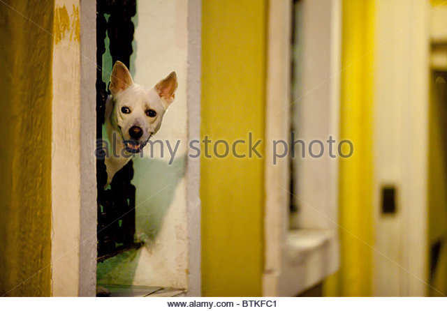 Dog Looking out Window, Old San Juan, Puerto Rico - Stock Image