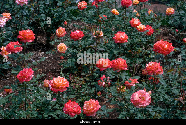 CENTENARY ROSE GARDEN IN OOTY TAMILNADU - Stock-Bilder