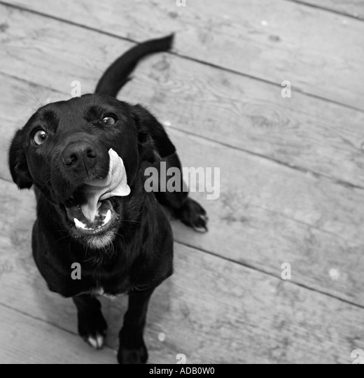Labrador Cross Dog Sitting on a Wooden Floor Licking Her Lips - Stock Image