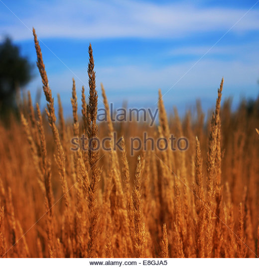Close-up of wheat field - Stock Image
