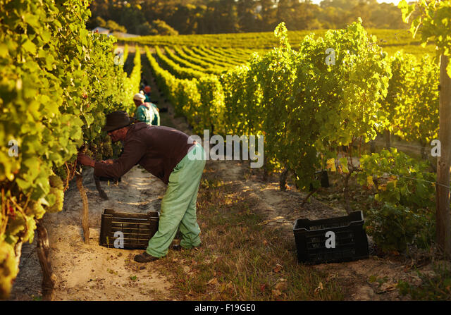 Image of worker picking grapes from vines and collecting in container, people harvesting grapes for wine in vineyard. - Stock Image
