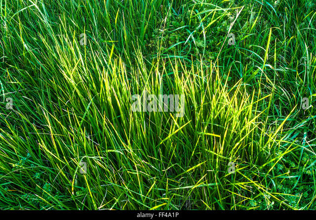 Long grass growing at roadside - France. - Stock Image