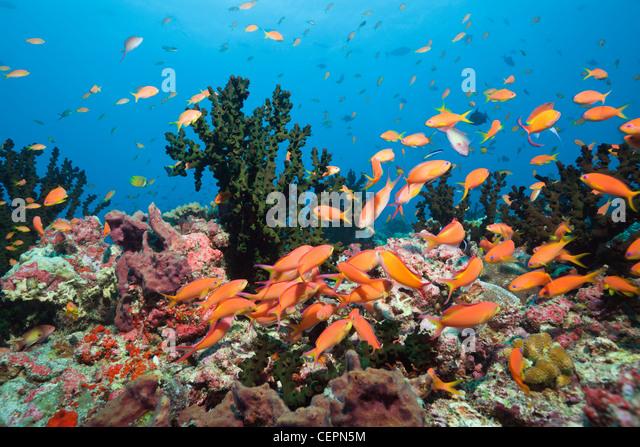 Flame Anthias in Coral Reef, Pseudanthias ignitus, Baa Atoll, Indian Ocean, Maldives - Stock Image