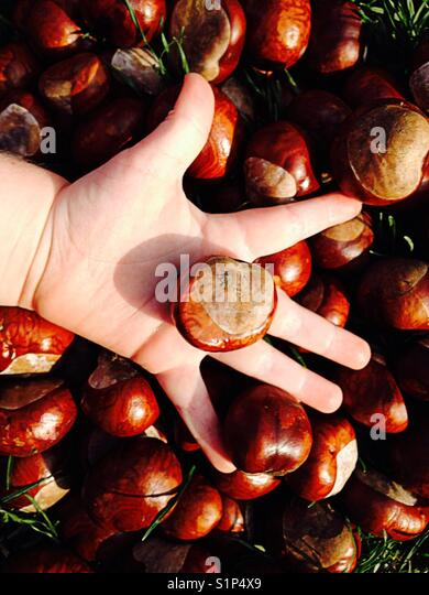 The hand of a three-year-old child with fingers splayed and holding a fresh shiny conker / Horse chestnut tree above - Stock Image