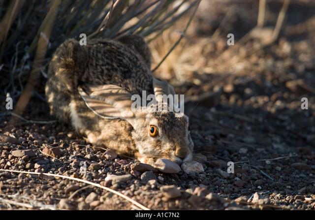 Scrub Hare, frozen to lessen detection in Damaraland, Western Desert, Namibia, Africa - Stock Image