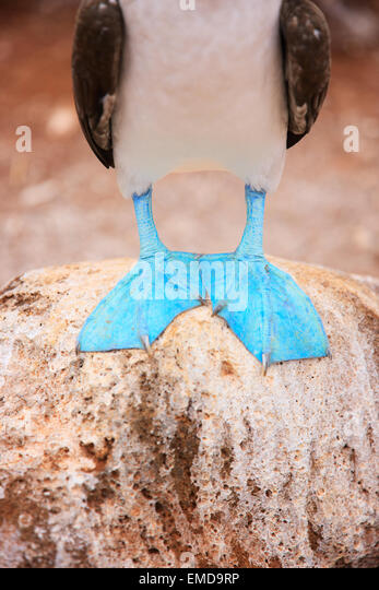 Feet of blue footed booby - Stock Image