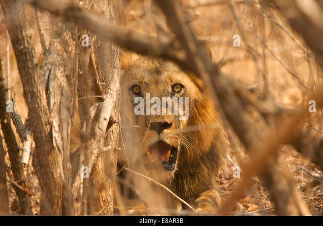 Male lion (Panthera leo) hiding in bush, Mana Pools National Park, Zimbabwe - Stock Image