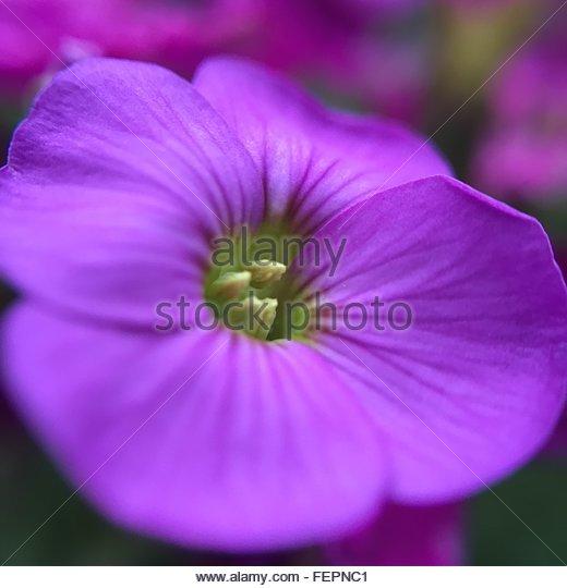 Close-Up Of Purple Flower - Stock Image