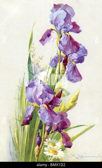 Purple Iris - Stock Image