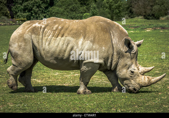Captive White Rhino - Stock Image