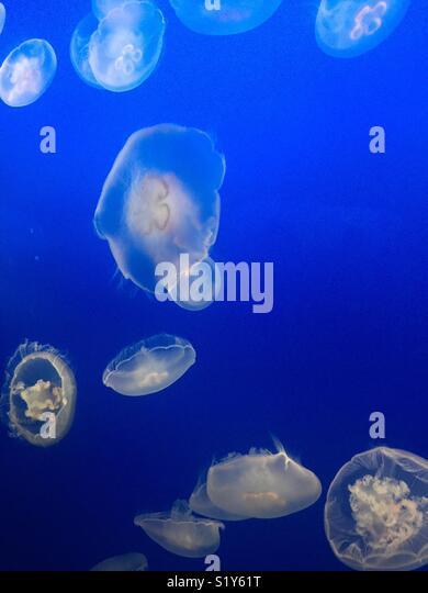 White jellyfish floating in ocean water aquarium - Stock Image