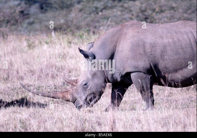 Rhinoceros, Lake Nakuru National Park, Kenya, East Africa, Africa - Stock Image