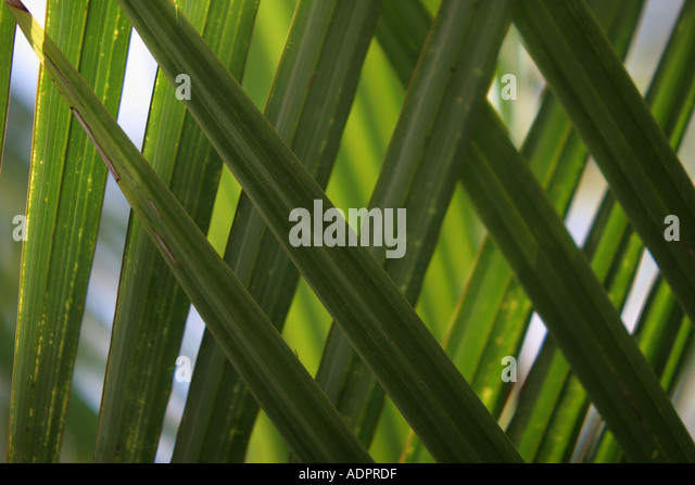 Florida, tropical plant, flora, growing, life, palm leaves, frond, green, - Stock Image