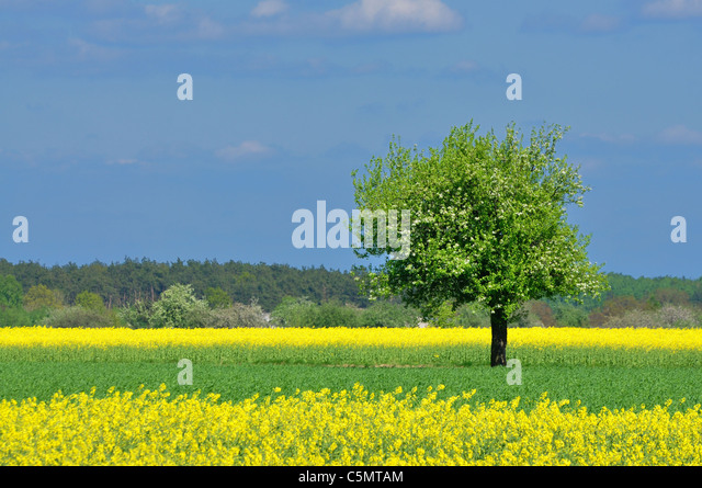 Spring landscape - lonely tree, meadow and blue sky - Stock Image