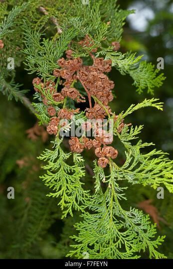 Japanese cypress, hinoki cypress, Hinoki-Scheinzypresse, Hinoky-Scheinzypresse, Chamaecyparis obtusa, Cupressus - Stock Image