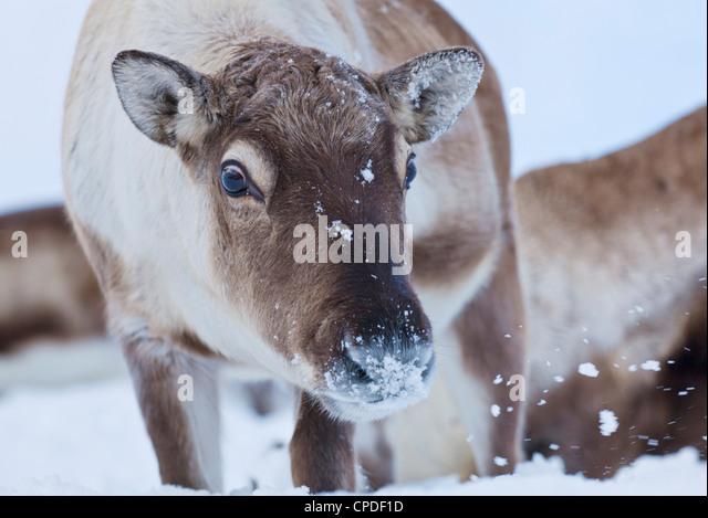 Young reindeer (Rangifer tarandus) grazing, Kvaloya Island, Troms, North Norway, Scandinavia, Europe - Stock Image