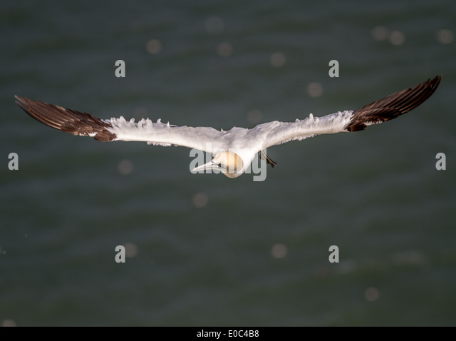 Soaring gannet with feathers catching the wind.  Below are dots of seabirds on the sea, Filey, Yorkshire, UK - Stock Image