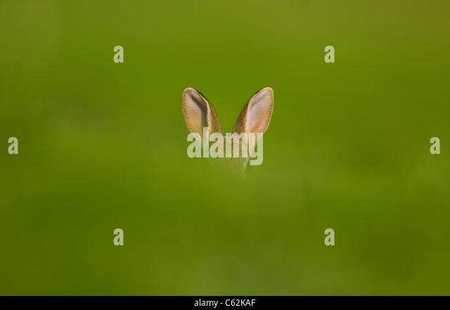RABBIT Oryctolagus cuniculus  An alert rabbits ears poke out above a grass bank Norfolk, UK - Stock-Bilder