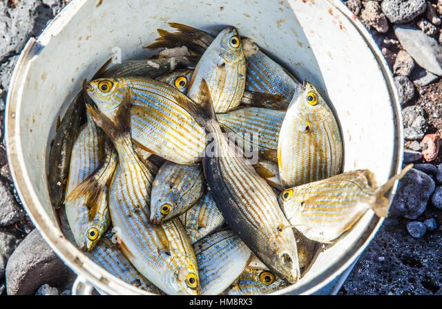white bucket half-full of sea fishes from Tenerife island - Stock Image