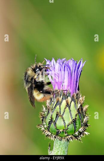 Bumblebee feeding on cornflower - Stock-Bilder